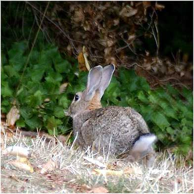 Pictures Of Rabbits In The Wild. wild rabbit - Oryctolagus